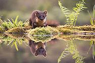 Pine marten (martes martes) reflected in woodland pool, Scotland.