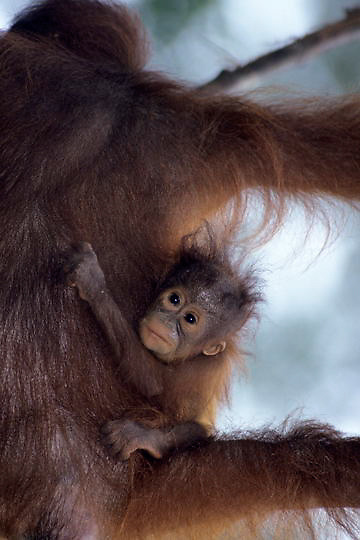 Orangutan, (Pongo pygmaeus) Baby hangs on as mother descends from vine in rain forest. Northern Borneo. Malaysia. Controlled Conditons.
