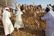 Early morning is the busiest time at the Camel Market. Camel hygiene is an uneasy job with these stubborn beasts.