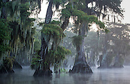 Fog on  Lake Fausse Lake Fausse rapps around  bald cypress trees in Lake Fausse Pointe State Park.