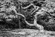 Stately old Japanese Maple and stone garden at the Portland Japanese Garden