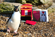 London Feb 12 Roxy one of the most popular penguins at The  London Zoo awaits her Valentine cards to be delivered...Standard Licence feee's apply  to all image usage.Marco Secchi - Xianpix tel +44 (0) 845 050 6211 .e-mail ms@msecchi.com .http://www.marcosecchi.com