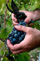 Tipica vendemmia in un vigneto di tipo alberello pugliese che produce uva negramaro; il vigneto si trova a San Pancrazio Salentino in provincia di Brindisi.
