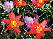 Red and Purple Flowers at Keukenhof