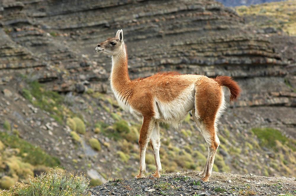Guanaco (Lama guanicoe), Parque Nacional Torres del Paine, Magallanes, Patagonia, Chile