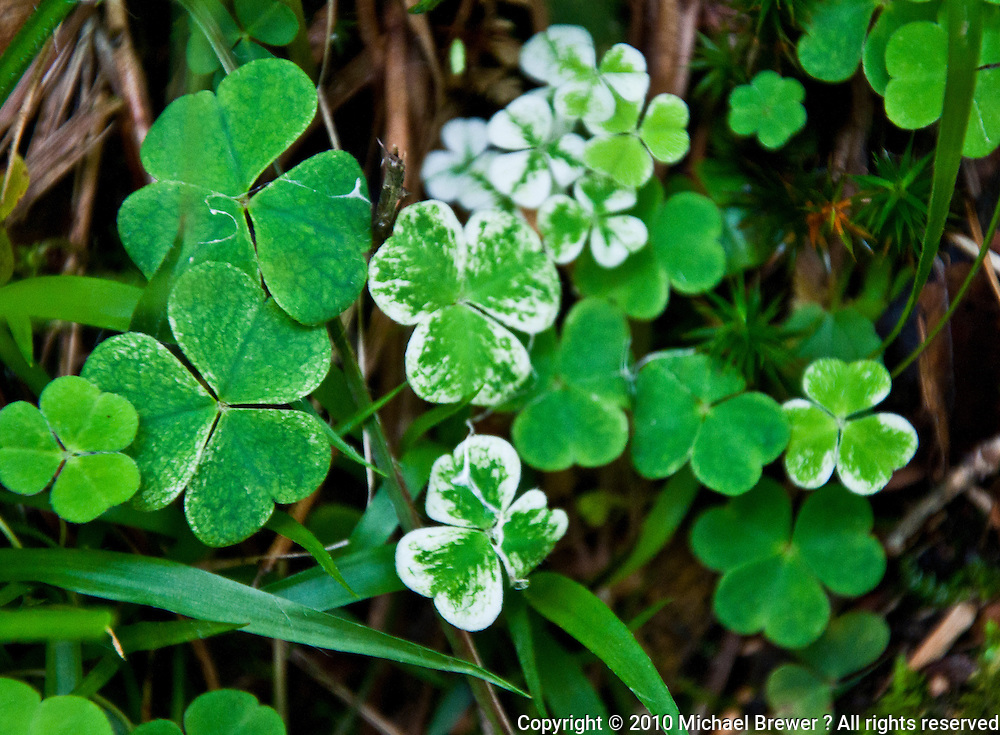 Ticino, Southern Switzerland. A patch of variegated clover.