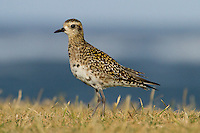 Pacific Golden Plover photo Hawaii