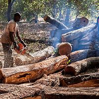 06/03/2014.  Mansodé. Guinée Bissau. Scènes découpe d'écorce et chargement de bois de veine dans des conteneurs destinés à des clients chinois. L'exportation de troncs entiers d'arbres est interdit par la constitution Bissau-Guinéenne. ©Sylvain Cherkaoui pour JA