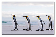 King Penguins walk the beach of Volunteer Point, Falkland Islands. Nikon D850, 70-200mm @ 165mm, f4.5, EV+1.33, 1/1250sec, ISO250, Aperture priority