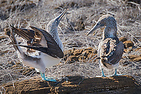 Blue-footed Boobies courting on Sab Cristabol Island in the Galapagos, Ecuador.