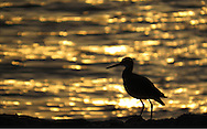 A Willet stands on the rocks, silhouetted by the sunset on Captiva Island