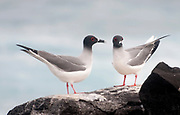 Pair of Swallow-tailed gulls (Creagus furcatus) from Espanola, Galapagos.