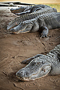 Group of American alligators (Alligator mississipiensis) relaxes on land in Myrtle Beach, SC.