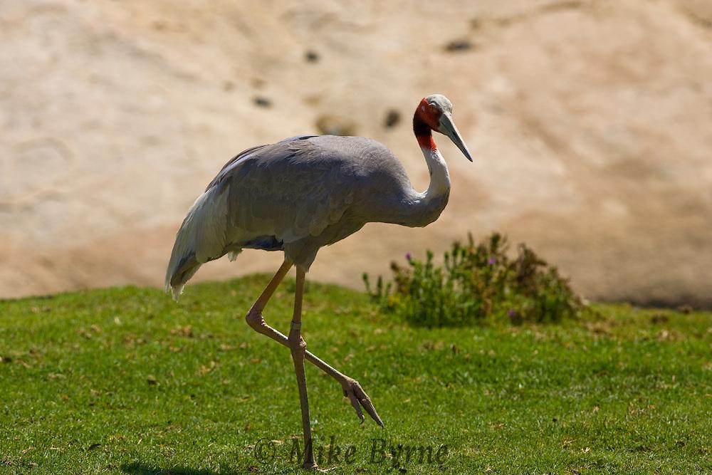 An Indian Sarus Crane (Grus antigone).