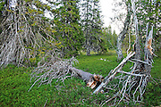 Skarvene og Roltdalen nasjonalpark. Gammel granskog ved  Stormoen i Roltdalen.  Old woods in Roltdalen. Urskog.