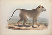Cynocephalus thoth baboon From the book Zoologia typica; or, Figures of new and rare animals and birds described in the proceedings, or exhibited in the collections of the Zoological Society of London. By Fraser, Louis. Zoological Society of London. Published by the author in London, March 1847