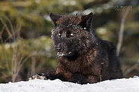 Wild black wolf in the Canadian Rockies