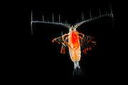 Marine Planktonic Copepod Euchirella comprises tropical and subtropical forms. The genus.comprises more than 30 species. [size of single organism: 1 mm]| Der Ruderfußkrebs der Gattung Euchirella  hat den charakteristischen Körperbau dieser Krebsgruppe mit den langen, seitwärts gerichteten Antennen. Ruderfußkrebse sind in der Nahrungskette das Bindeglied zwischen dem Phytoplankton und größeren Räubern im Meer. Sie stellen mindestens 60% der gesamten Biomasse des marinen Planktons.
