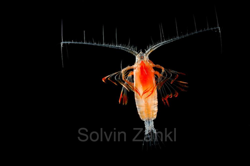 Marine Planktonic Copepod Euchirella comprises tropical and subtropical forms. The genus.comprises more than 30 species. [size of single organism: 1 mm]  Der Ruderfußkrebs der Gattung Euchirella  hat den charakteristischen Körperbau dieser Krebsgruppe mit den langen, seitwärts gerichteten Antennen. Ruderfußkrebse sind in der Nahrungskette das Bindeglied zwischen dem Phytoplankton und größeren Räubern im Meer. Sie stellen mindestens 60% der gesamten Biomasse des marinen Planktons.