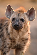 Cub of the spotted hyena (Crocuta crocuta) at the den, Ishasha sector, Queen Elizabeth National Park, Uganda
