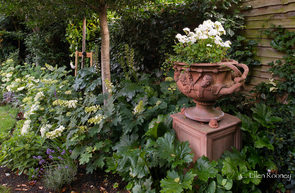 White Pelargonium in a terracotta urn surrounded by hydrangeas in a small London garden