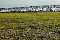 CULTIVO DE TRIGO, RICARDONE, PROVINCIA DE SANTA FE, ARGENTINA (PHOTO © MARCO GUOLI - ALL RIGHTS RESERVED)