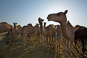 Early morning is the busiest time at the Camel Market. Curious camels.