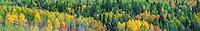Autumn aspens [Populus tremuloides] in color; Fremont County, Colorado