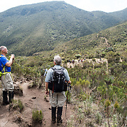 Hikers in the heath zone on Mt Kilimanjaro's Lemosho Trail.