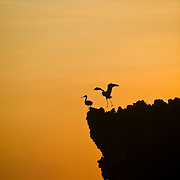 Two dimorphic egrets (Egretta dimorpha) on a coral rock overhang, silhouetted against the orange sunset, fishing for sardines. Chumbe Island Coral Park, Zanzibar, Tanzania is an internationally-awarded eco-resort and the first private, not-for-profit marine preserve in the world.