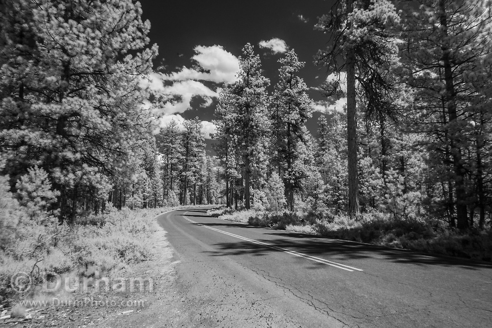 Infrared photo of a forest road in ponderosa forest, Oregon. © Michael Durham.