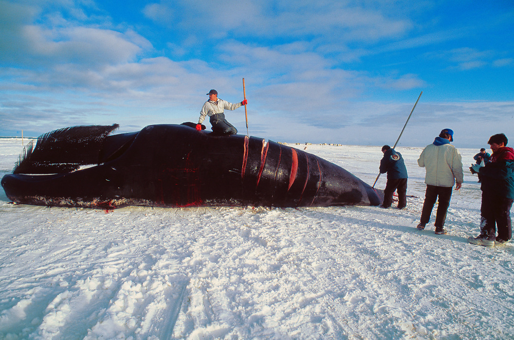 Alaska. Barrow. A whaling team begins harvesting .
