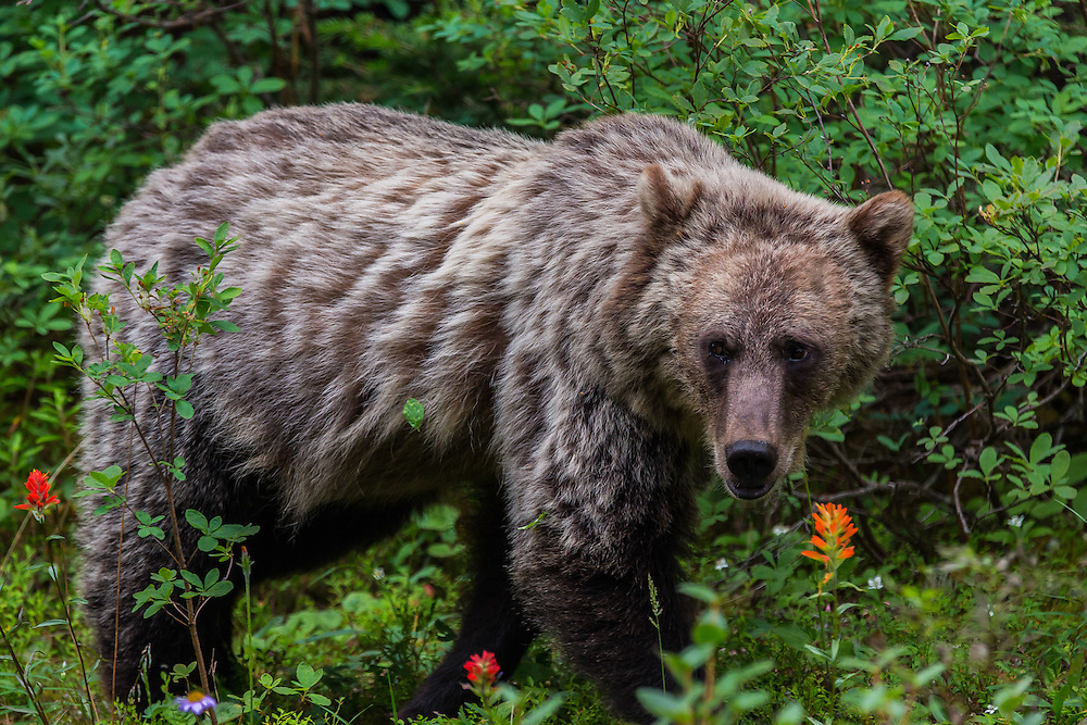 grizzly bear, banff national park, Alberta, Canada