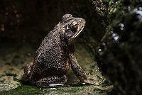Gulf Coast Toad, Bufo (incilius) nebulifer;	<br />