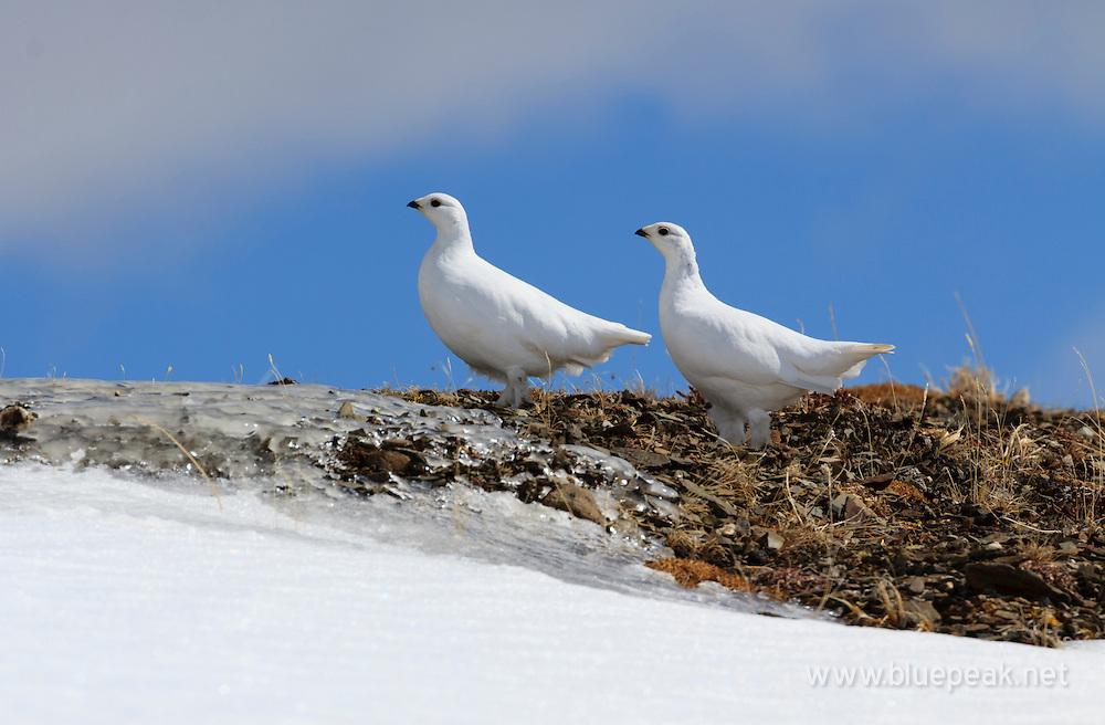 Two female white-tailed ptarmigan, Lagopus leucura, on Whisters Summit, Jasper National Park.