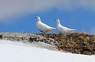 Two female white-tailed ptarmigan, Lagopus leucura, on Whisters Summit, Jasper National Park.