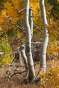 Quaking Aspens, Paige Meadow, Tahoe, CA