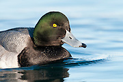 Greater Scaup, Aythya marila, St. Clair River, Michigan