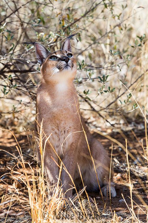 Caracal viewing at N/a'ankuse,Namibia.