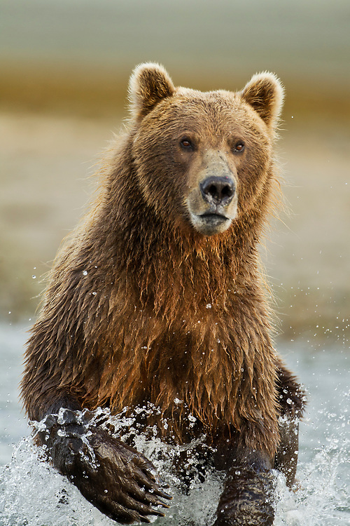 USA, Alaska, Katmai National Park, Grizzly Bear (Ursus arctos) running while fishing in salmon spawning stream along Kukak Bay in late summer