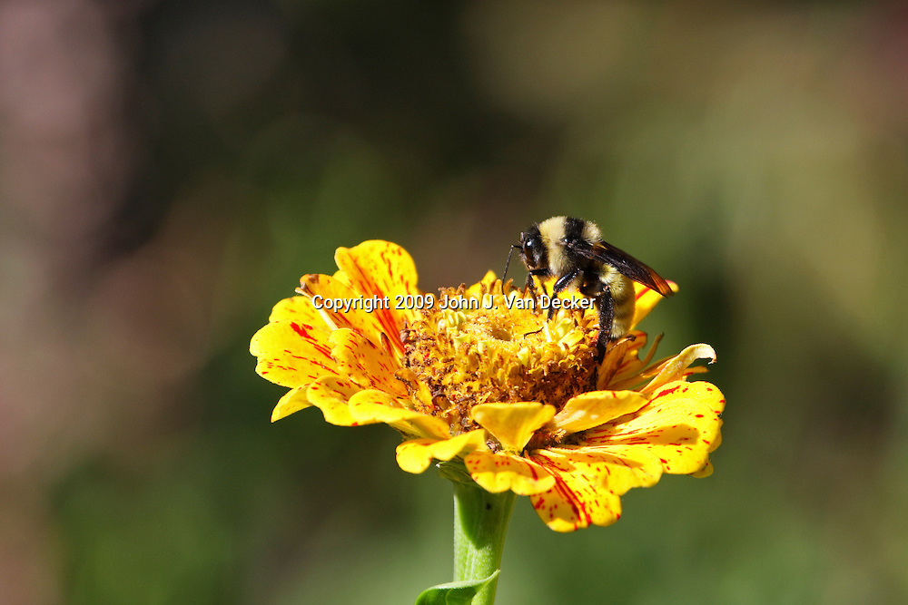 Bumblebee on yellow flower