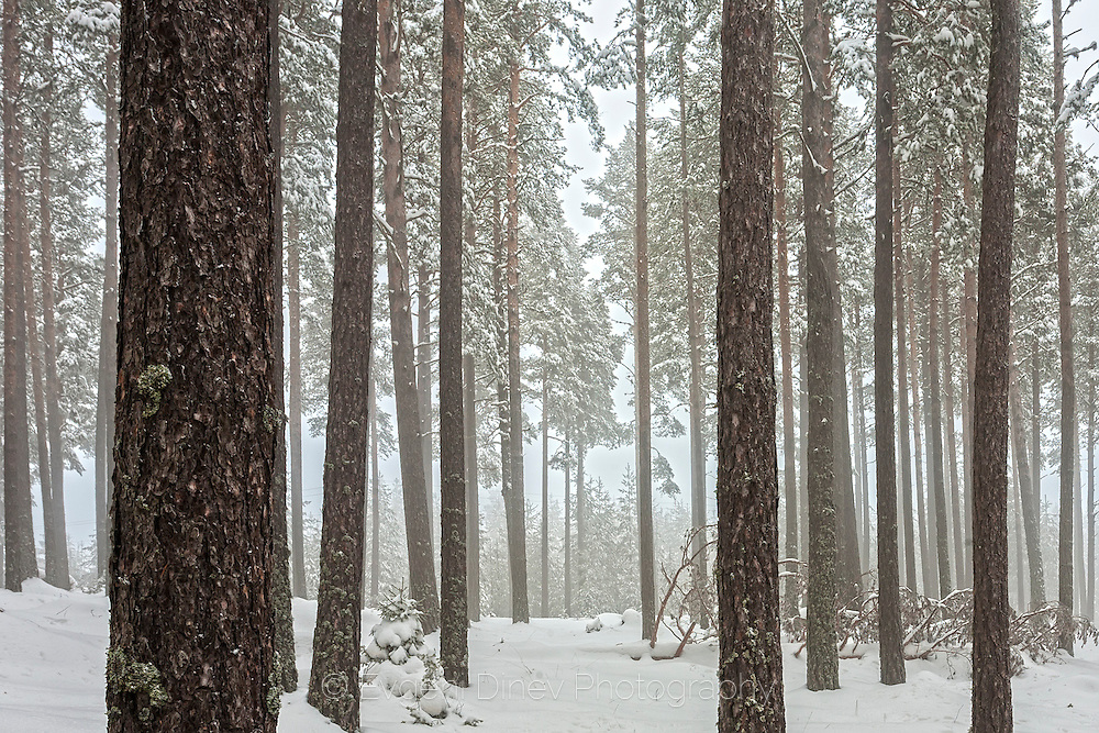 Pine trees with a snow