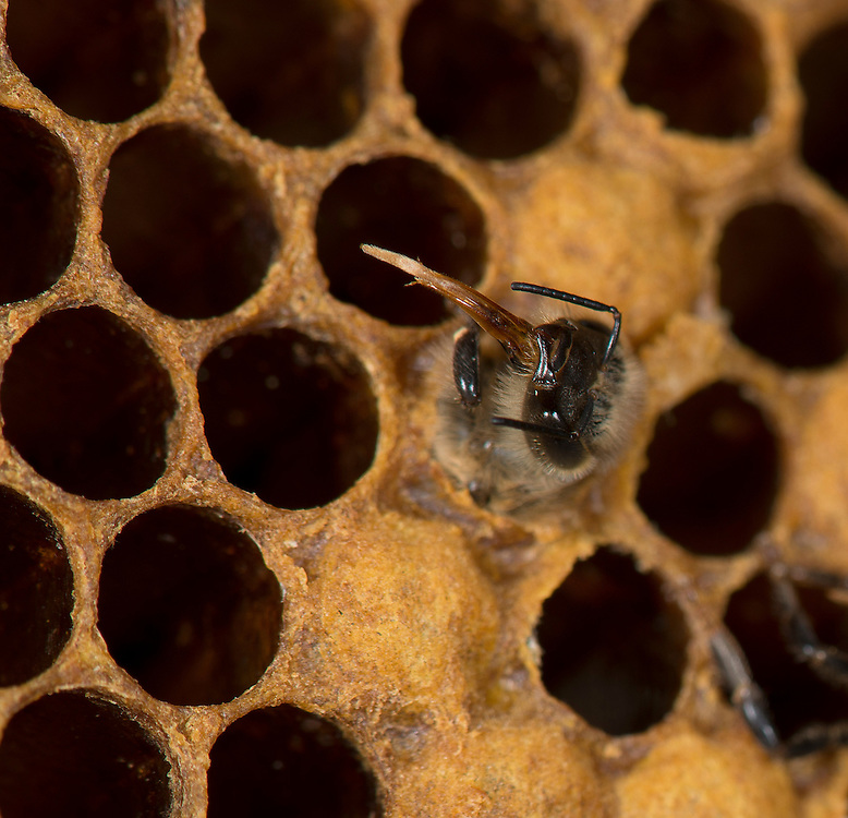 European honey bee (Apis mellifera), hatching, emergin,  Captive,  credit: Palo Alto JMZ/M.D. Kern