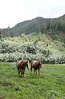 Hawaiian Horses