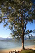Ironwood tree, Kualoa Beach Park, Windward Oahu, Hawaii