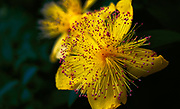 These beautiful yellow blooms give off a shower of red/maroon stamens on the end of thread like stalks. When you get up close to them they almost look like a firework spreading out from the initial explosion in the sky.