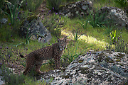Iberian Lynx (Lynx pardinus) female<br /> Sierra de Andújar Natural Park, Mediterranean woodland of Sierra Morena, north east Jaén Province, Andalusia. SPAIN<br /> RANGE: Iberian Penninsula of Spain & Portugal.<br /> CITES 1, CRITICAL - DANGER OF EXTINCTION<br /> Fewer than 200 animals in the wild. There is a reduced genetic variability due to their small population. They have suffered due to hunting, habitat loss and road accidents, but the most critical threat today is the reduced numbers of wild Rabbits (Oryctolagus cuniculus) within the lynx's range. The rabbits are the principal food source of the lynx and they are suffering from deseases such as Myxomatosis & Rabbit haemoragic virus. The lynx is also suffering from deseases such as feline leukaemia<br /> A medium sized cat weighing 12-15kgs, Body length 90cm, Shoulder height 45-50cm. They have a mottled fur pattern, (3 varieties of fur pattern found between the different populations and distinguishing them geographically)  short tail, ear tufts and are bearded. They are territorial cats although female cubs have been found to share their mother's territory. Mating occurs in Dec/Jan and cubs born around April. They live up to 13 years.<br /> <br /> Mission: Iberian Lynx, May 2009<br /> © Pete Oxford / Wild Wonders of Europe<br /> Zaldumbide #506 y Toledo<br /> La Floresta, Quito. ECUADOR<br /> South America<br /> Tel: 593-2-2226958<br /> e-mail: pete@peteoxford.com<br /> www.peteoxford.com