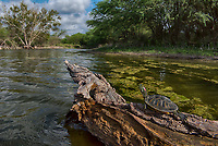 Red-eared slider, Trachemys scripta elegans <br /> Photographer: Robert Rommel<br /> Ranch: Sick Dog Ranch - Mitchell &amp; Dianne Dale, Michael Dale<br /> Jim Wells County