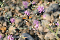 Kolibrievlinder, Macroglossum stellatarum