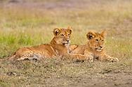 Lion cubs, Panthera leo, Masai Mara National Reserve, Kenya